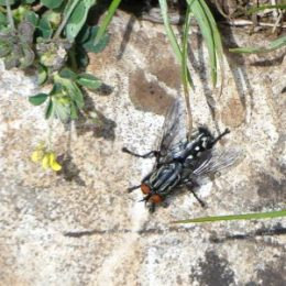 Sarcophagus or Flesh fly-